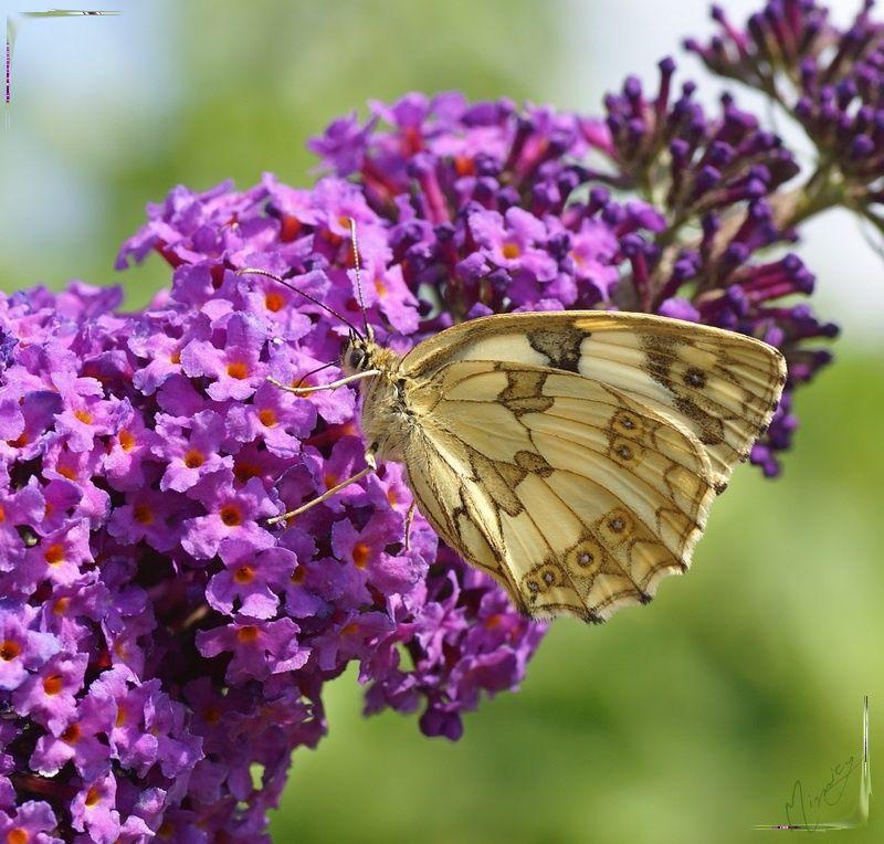 Nature papillon demi-deuil