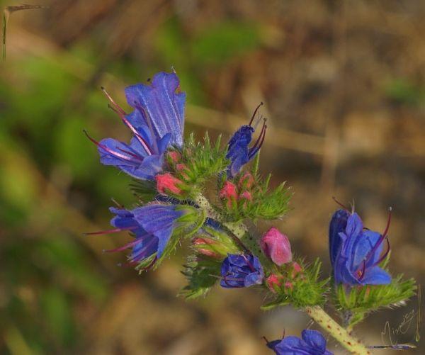 Flower fleur sauvage vipérine
