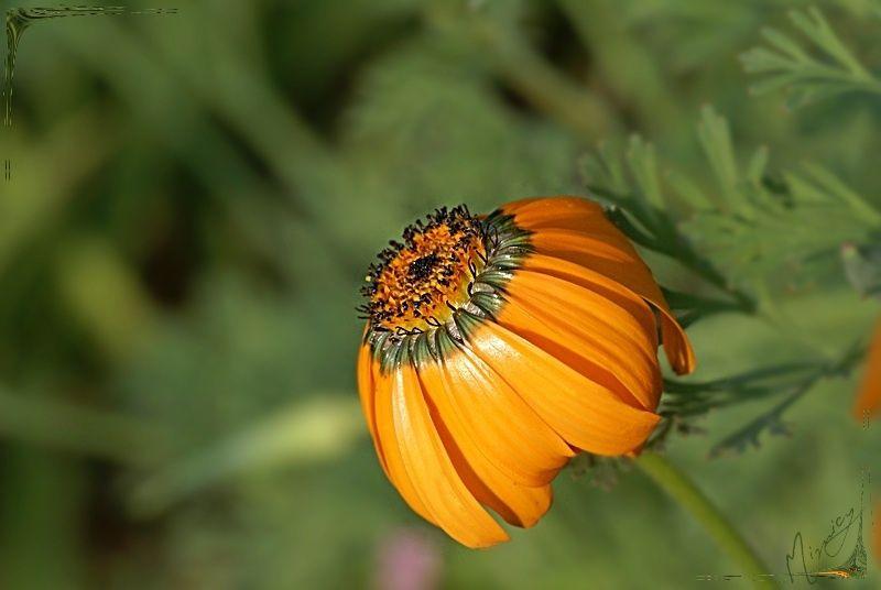 Flower fleur jardin Dimorphotheca