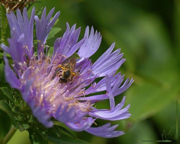 Flower fleur nature Centaurée vivace