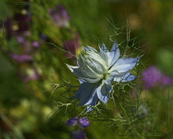 Flower fleur nature nigelle de damas