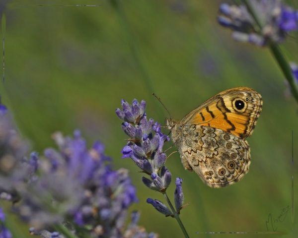 nature sauvage papillon mégère