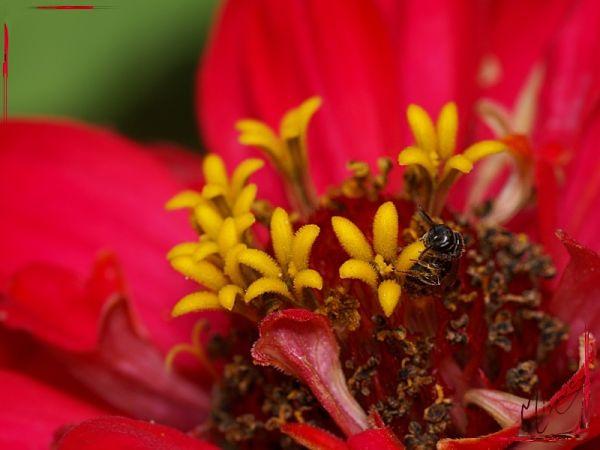 Flower fleur zinnia