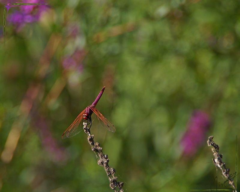 nature sauvage libellule