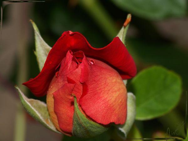 Flower fleur nature rose