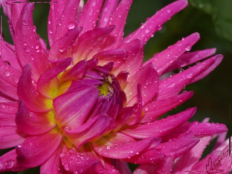Flower fleur nature dahlia