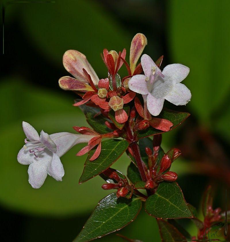 Flower fleur nature abélia