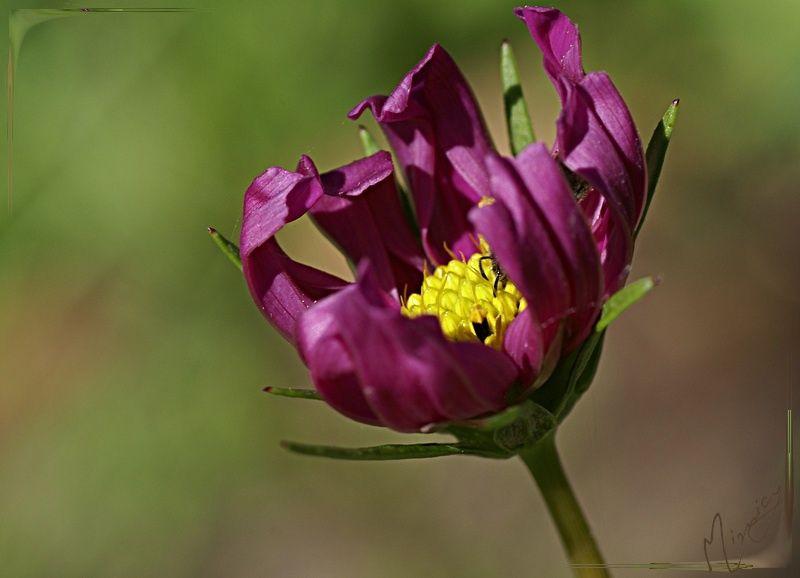 Flower fleur nature cosmos