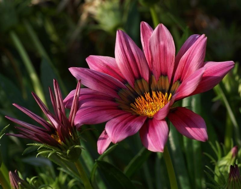 Flower fleur jardin gazania