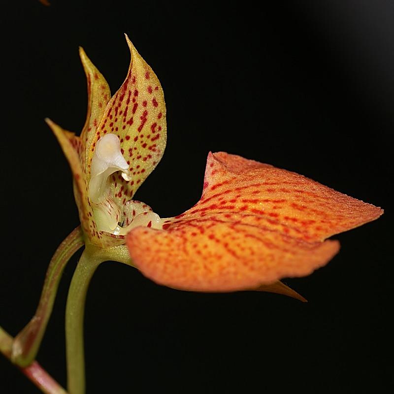 Flower fleur orchidée comparettia spéciosa