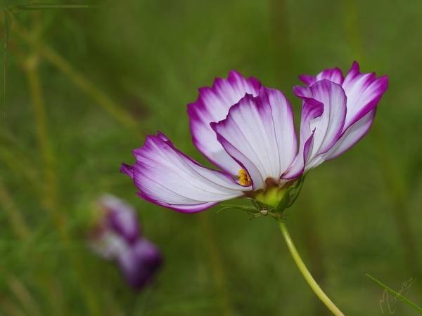 Flower fleur cosmos