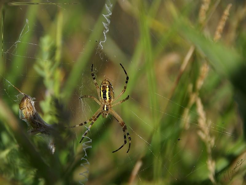 Faune jardin araignée