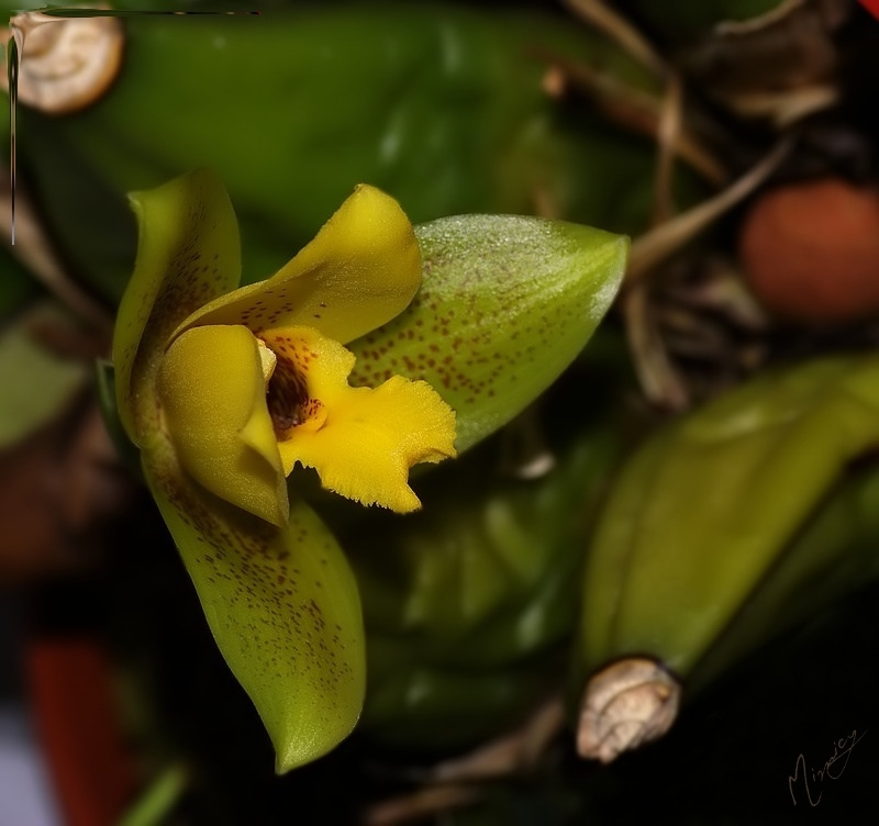 Flower fleur orchidée Lycaste