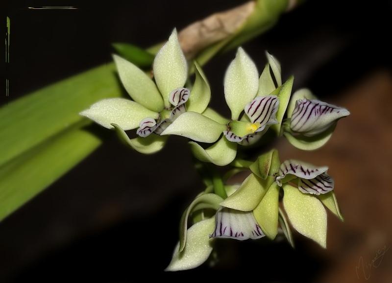Flower fleur orchidée Encyclia