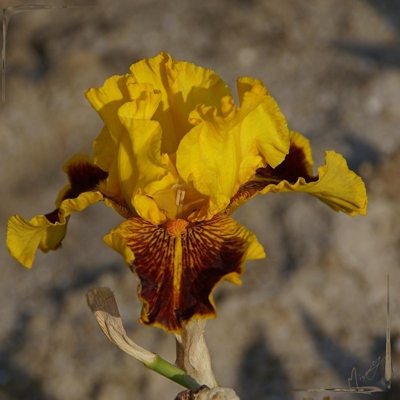Flower fleur iris