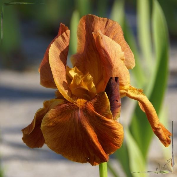 Flower feur Iris