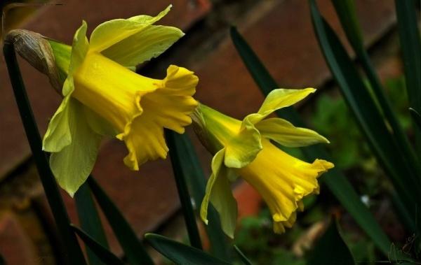 Flower fleur narcisse