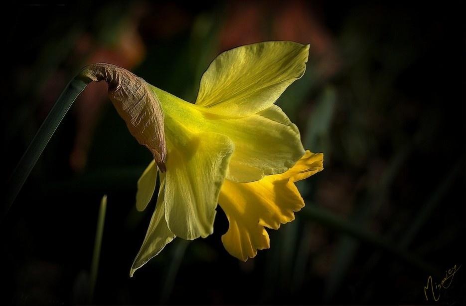 flower fleur nature Narcisse