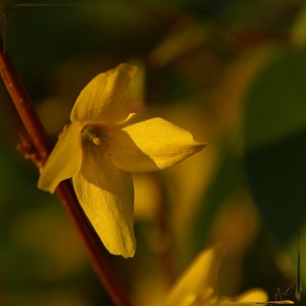 Flower fleur forthysia