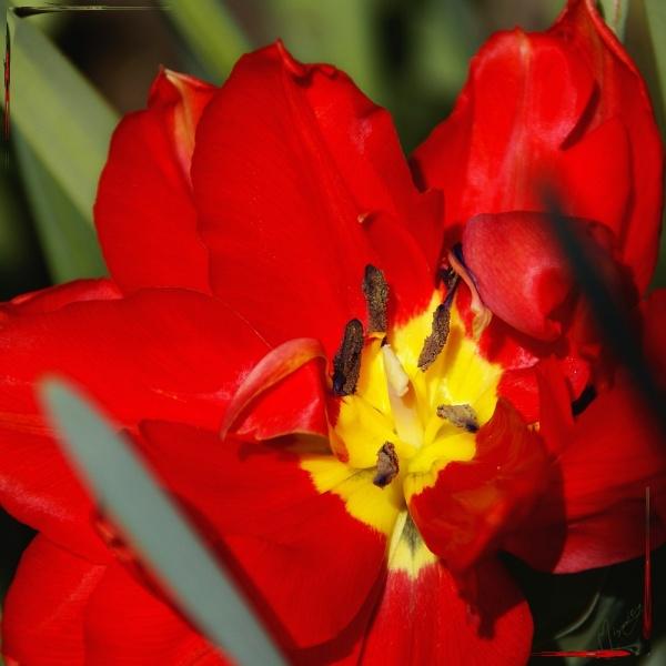 Flower fleur tulipe