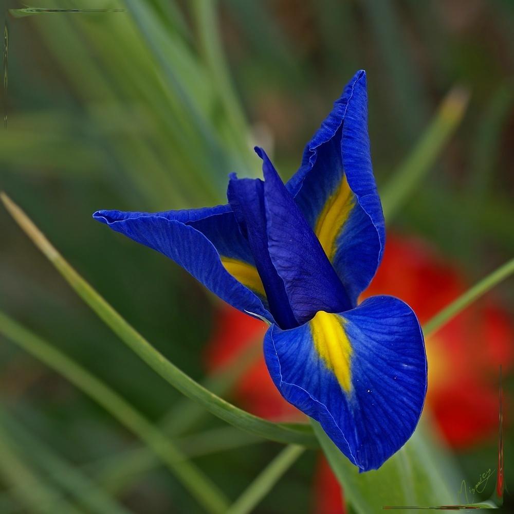 Flower fleur jardin iris