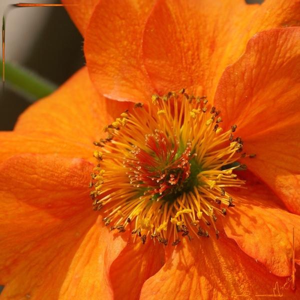 Flower fleur jardin benoite
