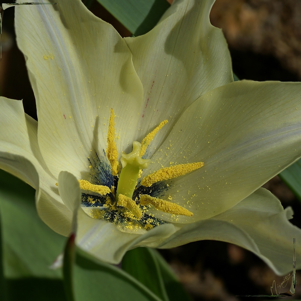 Flower fleur jardin tulipe