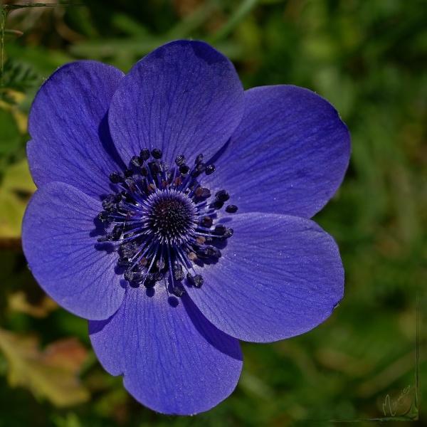Flower fleur jardin anémone
