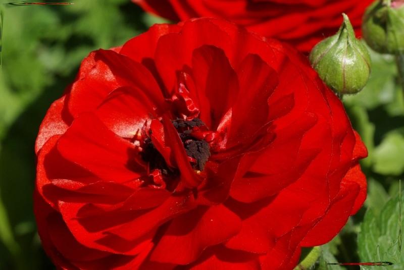Flower fleur jardin renoncule