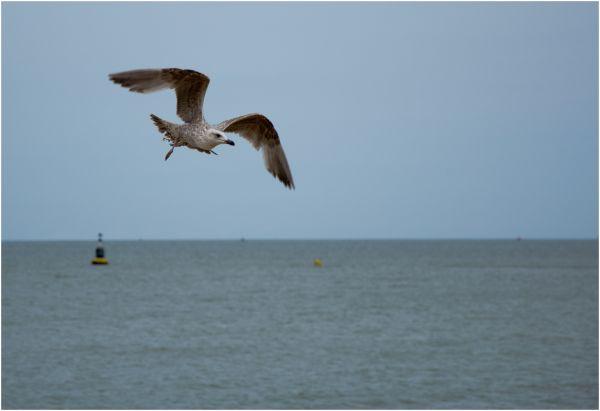 Seagull - 1