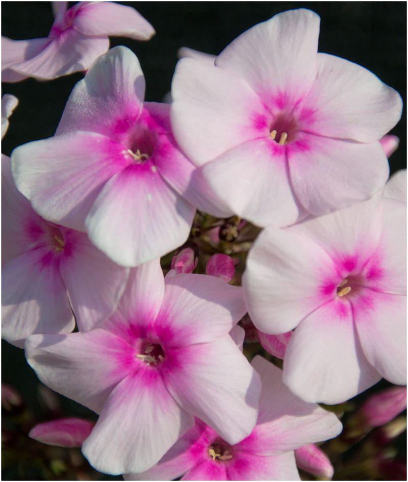 Garden flower - 1