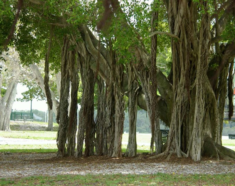 Banyan Tree 2/2