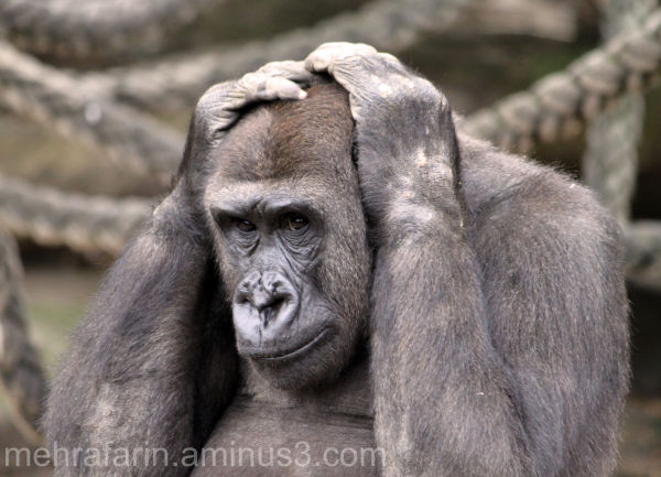 Gorilla, Taronga Zoo