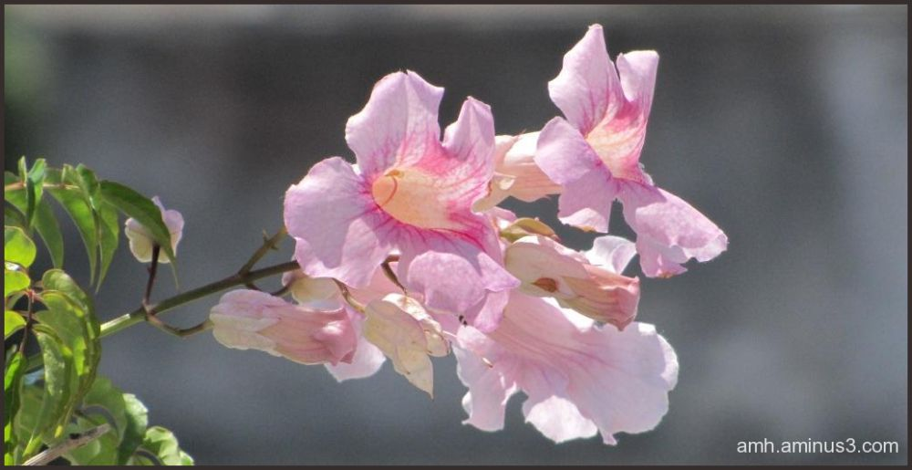 Campanas rosas