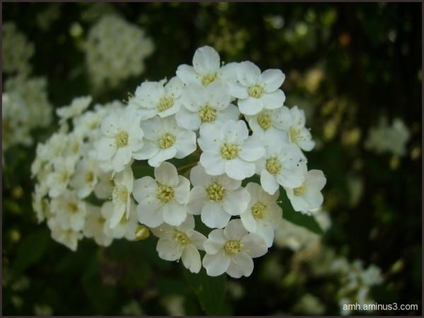 Flores II