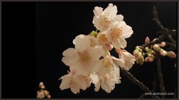 noche y sakura