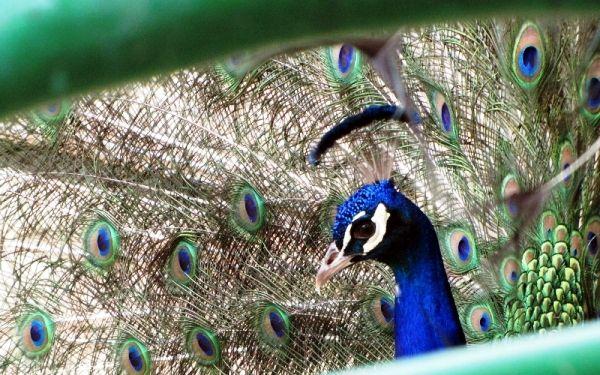 چشمان طاووس