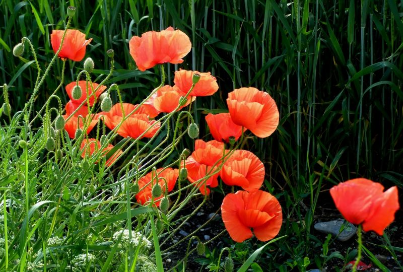 poppies at the edge of a barley field