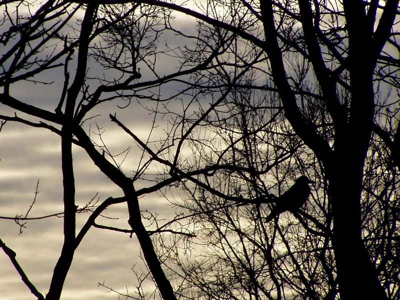crow in a barren tree