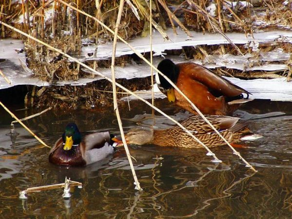 ducks and ice on the canal