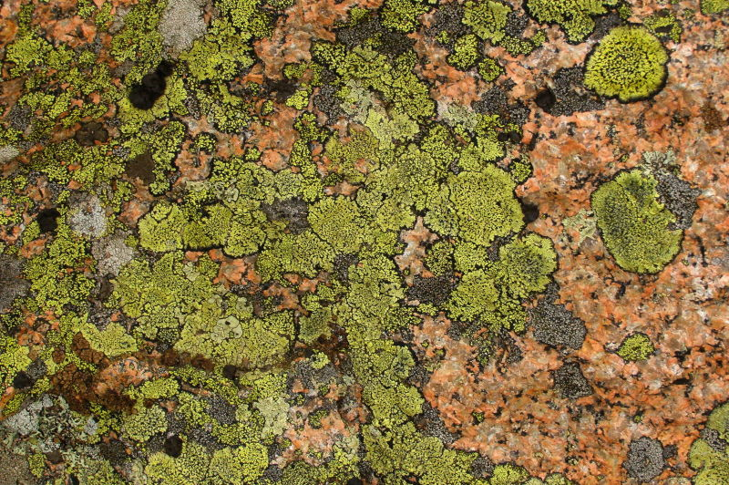 lichen on granite rock, cadillac mountain, acadia