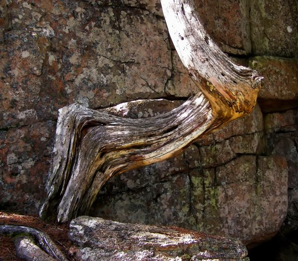 twisted tree trunk and rocks, acadia n.p.