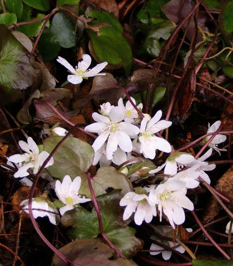 white liverwort
