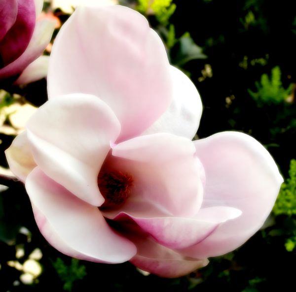 inside of magnolia flower