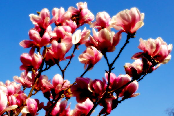 magnolia tree against the sky