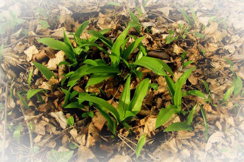 wild garlic in the wilderness