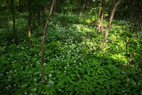"wild garlic in the ""wilderness"""