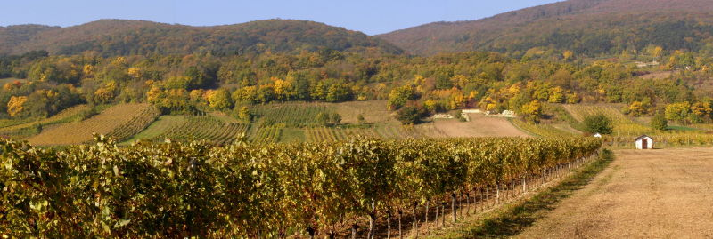 vineyards near gumpoldskirchen in autumn