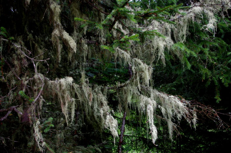 lichen hanging from fir trees, tirol