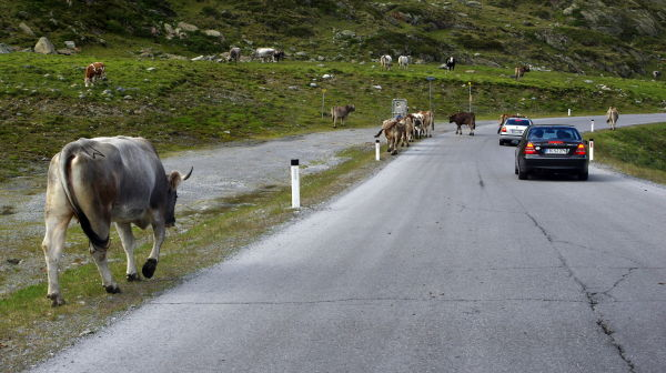 cows on the road, kaunertal